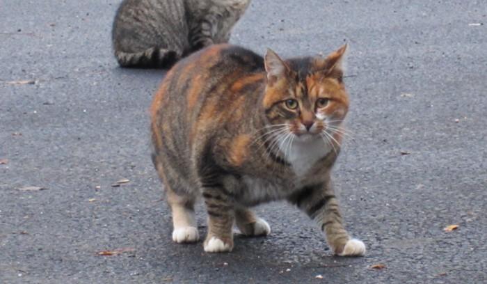 A compter du 18 février 2017 -  Lancement  par la commune d'une campagne de stérilisation des chats errants